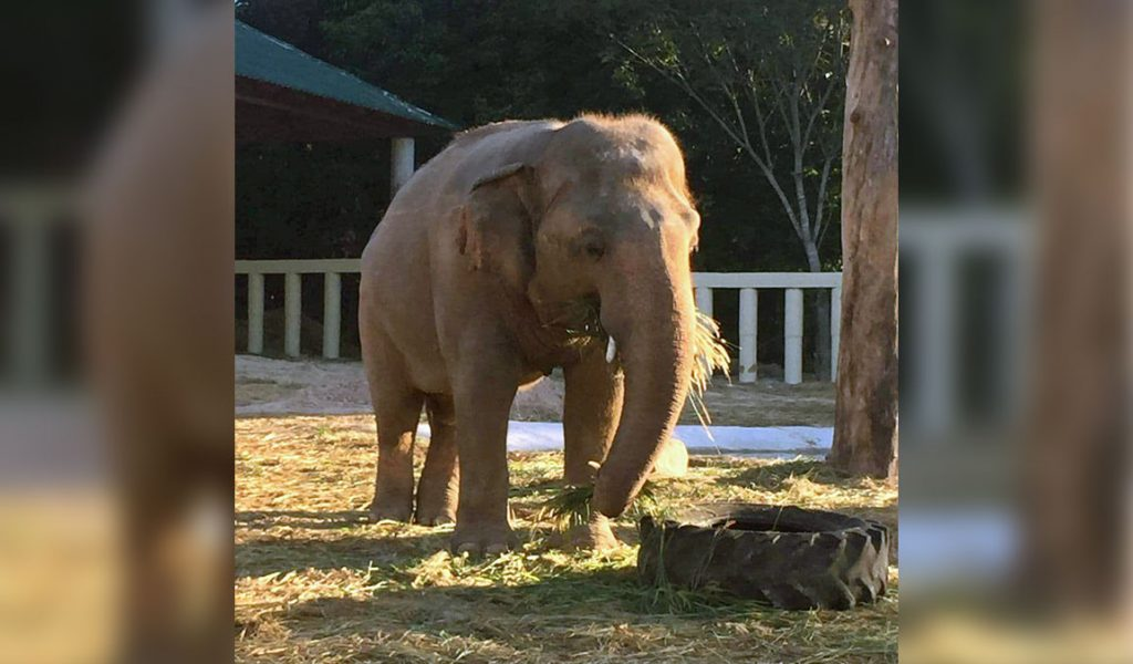 One month on and no longer 'the world's loneliest elephant'